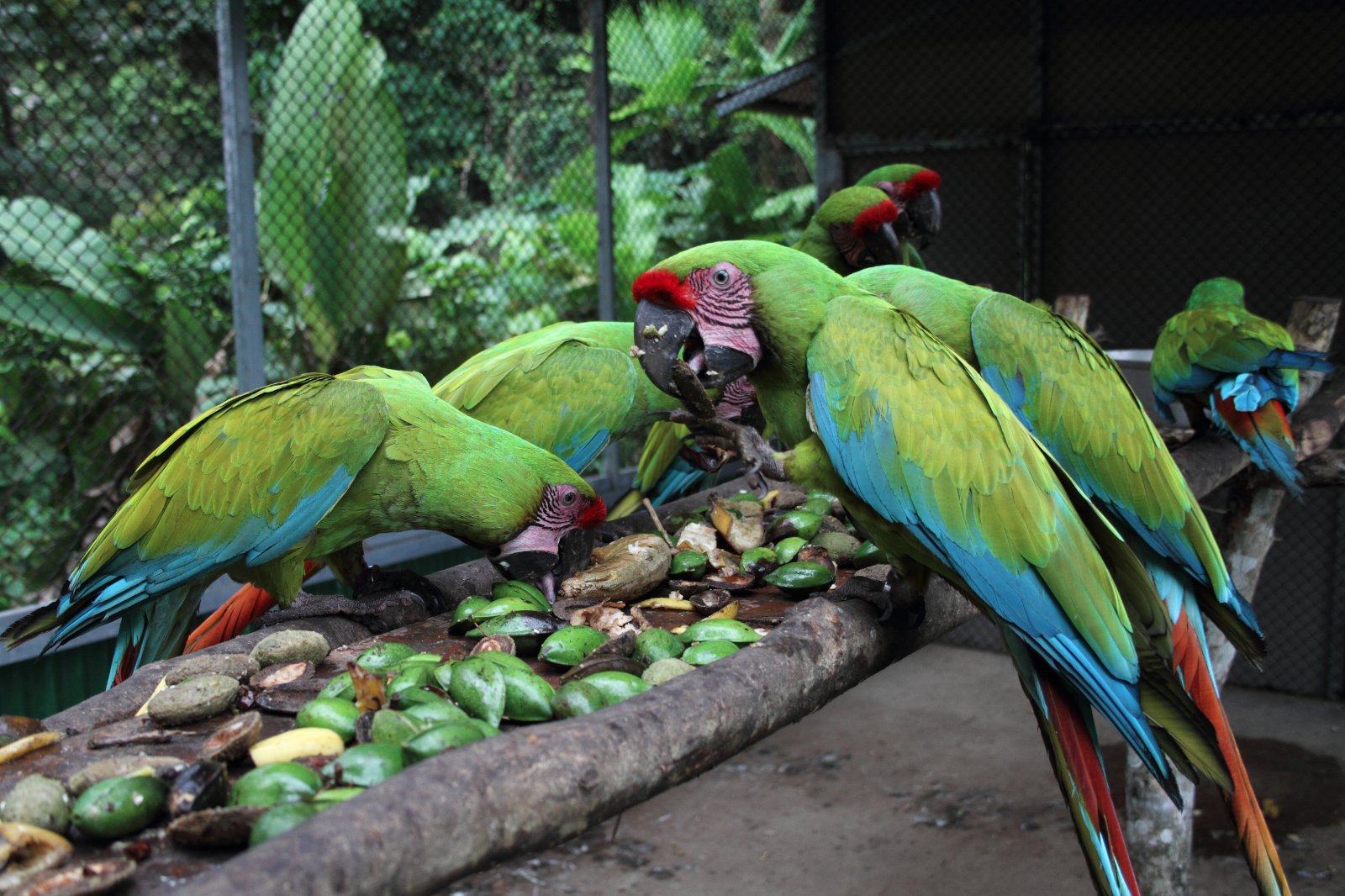Great Green Macaw - Learn More - Save the WPT 3 Campaign